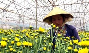 Ứng dụng đèn LED trong sản xuất hoa cúc tại Đà Lạt