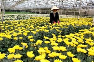 Đà Lạt ứng dụng đèn LED trong sản xuất hoa cúc