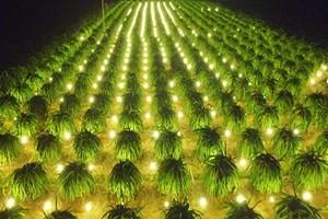 Kinh nghiệm trồng thanh long tiết kiệm điện cho năng suất cao